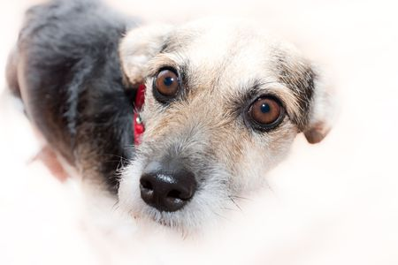 Cute wire haired mongrel dog isolated on white background with shallow focus on pleading eyes. photo