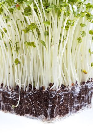 rooted: Close up of Mustard Cress and roots Stock Photo