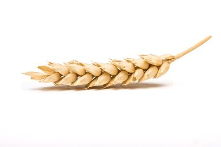 cosecha de trigo: Cultivo de oreja de cereales seco en estudio aislado sobre fondo blanco.