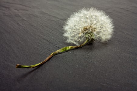 dark grey slate: Dandelion Abstract of dried flower from low perspective on dark grey slate.