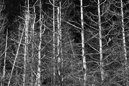 Monochromatic image of bleached dead pine trees against dark sky. photo