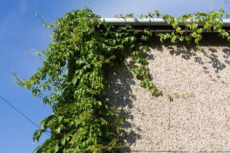 needing: Overgrown Virginia Creeper on corner of house needing pruning back. Stock Photo