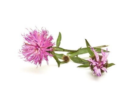 Wild Purplethistle like  Flower from english hedgerow isolated on white. Stock Photo - 7740571