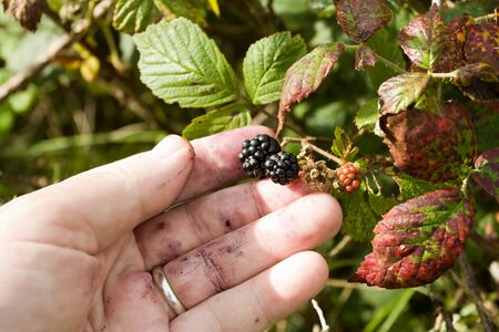 Ripening blackberries being picked from the wild hedgerow. photo