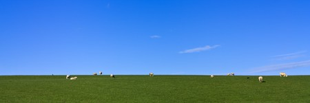 Grazing Sheep on lush green grass under vivid blue sky panoramic photo