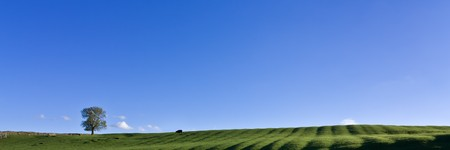 Grazing Cow or Bull on lush green grass under vivid blue sky panoramic photo
