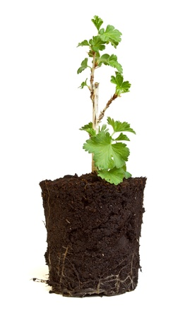 Small Gooseberry seedling from low perspective isolated on white. Stock Photo - 9210500