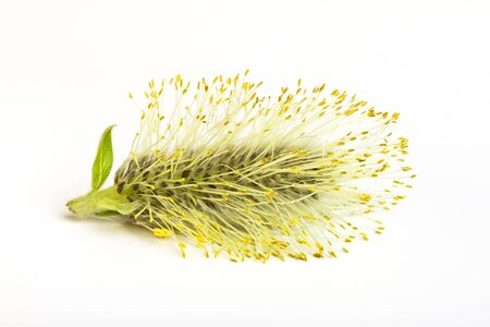 low perspective: Pussy Willow catkin from low perspective isolated on white. Stock Photo