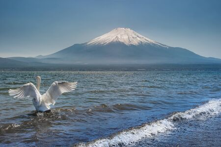 White Swan swimming in the Lake Kawaguchi in Yamanashi Prefecture with Mt. Fuji in the background, Japan