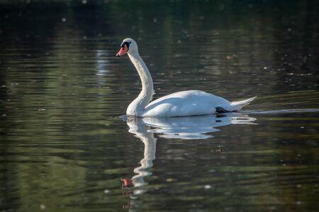 White swan swimming in the lake of Special Nature Reserve Koviljsko Petrovaradinski Rit (Kovilj – Petrovaradin marshes) complex of marshes on the Danube river in Backa region in Vojvodina, Serbia