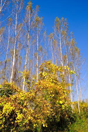 Autumn foliage in Special Nature Reserve Koviljsko Petrovaradinski Rit (Kovilj – Petrovaradin marshes) along the Danube river in Backa region of Vojvodina in northern Serbia