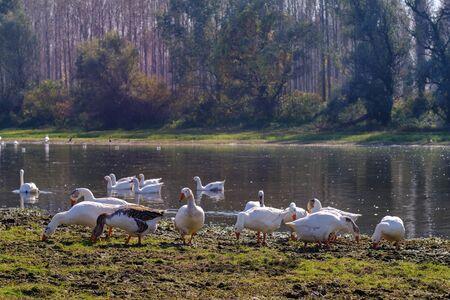 A flock of wild ducks at Special Nature Reserve Koviljsko Petrovaradinski Rit (Kovilj – Petrovaradin marshes), a complex of marshes along the Danube river in Backa region of Vojvodina, northern Serbia