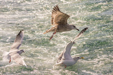 Seagulls hunting fish in swirling water of Hamana Lake in Shizuoka prefecture of Japan. Lake Hamana is a brackish lagoon connected to Pacific Ocean