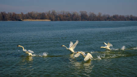 Flock of white swans spreading their wings and taking flight from the blue waters of Danube river in Belgrade, Serbia