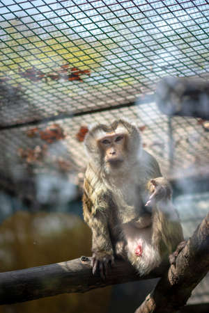 Macaque monkey in a cage at the Beijing Zoo, China