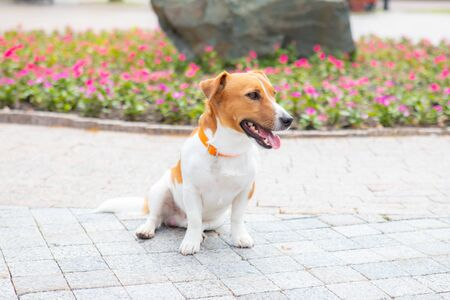 Funny jack russell Terrier puppy in the park on a summer sunny day. Dog with a collar on a background of flowers