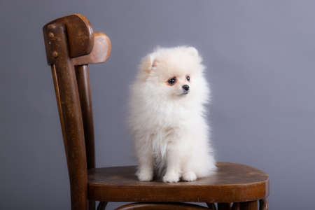 white spitz puppy sits on an old chair in a photo studio