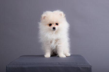 portrait of a white Spitz puppy. dog sits in a photo studio. Фото со стока