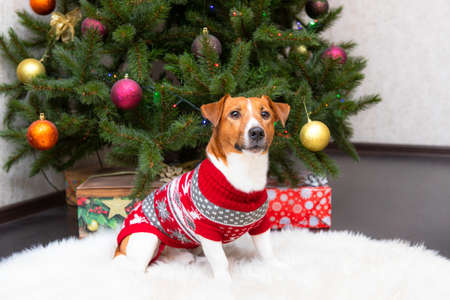 Dog Jack Russell Terrier. holiday, Christmas. Against the background of a Christmas tree Фото со стока