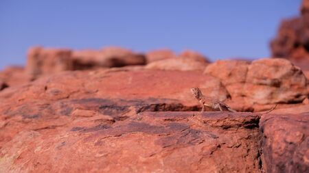 Ring-tailed or ring-tailed bicycle-dragon lizard on the rock at sunny day in Australia, Rim walk, Imagens