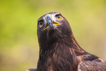 Portrait of an eagle in a park