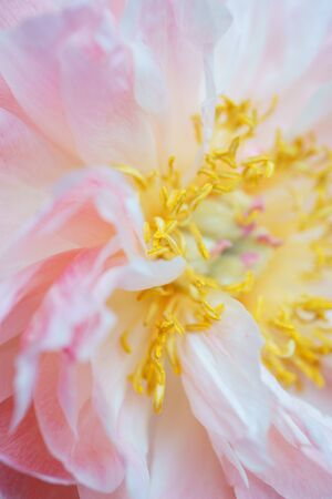 Peonies pastel pink color close-up. Flowering and beauty of nature. Soft focus and beautiful bokeh. Floral background. Peony petals. Stockfoto