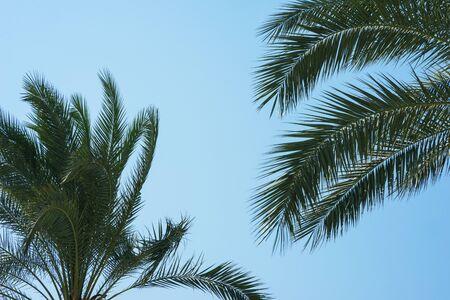 Grüne Palmblätter gegen einen klaren blauen Himmel. Reisen Hintergrundkonzept. Zweige der Kokospalme. Gesundheit, Umweltfreundlichkeit und eine saubere Umwelt für das Leben. Standard-Bild