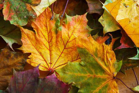 Hojas de otoño de color amarillo brillante en el suelo. Día cálido en el parque de la ciudad de otoño. Fondo de otoño. Hojas de arce, símbolo. Enfoque suave y hermoso bokeh. Foto de archivo
