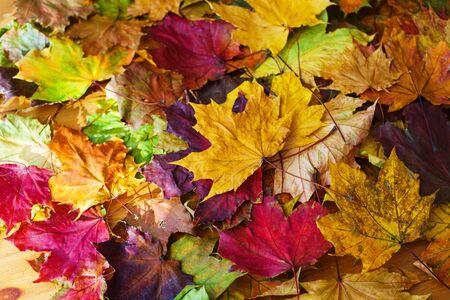 Feuilles d'automne jaune vif sur le sol. Journée chaude dans le parc de la ville d'automne. Fond d'automne. Feuilles d'érable, symbole. Mise au point douce et beau bokeh.