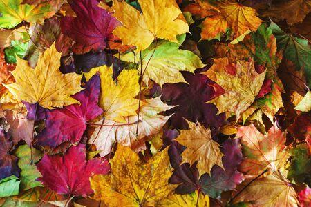 Hojas de otoño de color amarillo brillante en el suelo. Día cálido en el parque de la ciudad de otoño. Fondo de otoño. Hojas de arce, símbolo. Enfoque suave y hermoso bokeh.