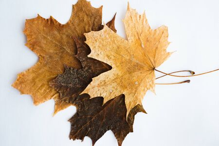 Dried dry maple leaves on white background. Autumn background, fall, thanksgiving day concept. Flat lay, top view with copy space. Stok Fotoğraf