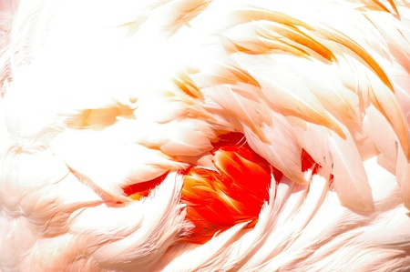 animal vein: Closeup detail of the delicate pink feathers on a flamingo wing with a central cluster of vivid scarlet feathers