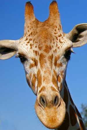 Closeup portrait of the head of an inquisitive giraffe against blue sky  photo