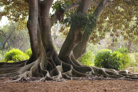 huge tree: The decortaive extensive aerial root system of the Banyan tree, a member of the ficus or fig family