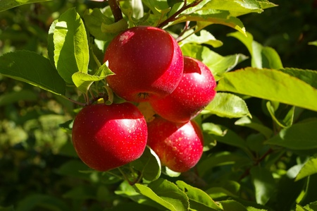 tempting: Tempting ripe red apples growing on a branch of an apple tree catch the rays of the summer sun. Stock Photo