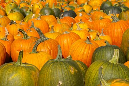 as far as the eye can see: Halloween paradise with harvested ripe pumpkins standing on the ground for as far as the eye can see.