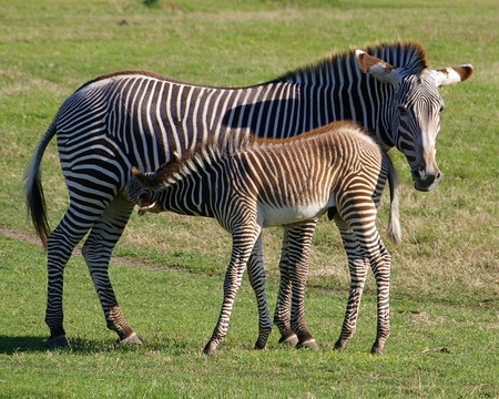suckling: A mother zebra stands patiently waiting while her young foal suckles, sideways to camera in grassy field