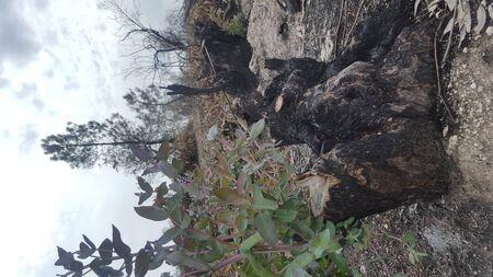 sprout of eucalyptus on death Banco de Imagens