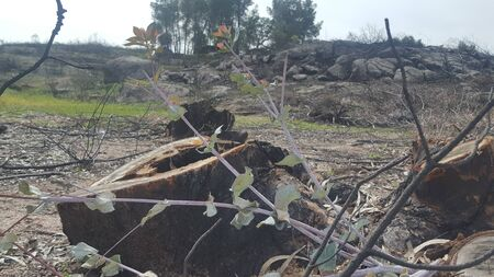 Eucalyptus reborn