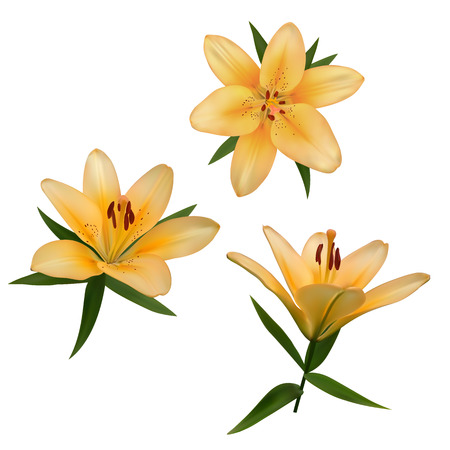 postcard background: Realistic vector flowers set. Bouquet of orange lilies. Isolated vector illustration on white background. Illustration