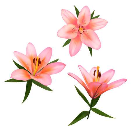 postcard background: Realistic vector flowers set. Bouquet of pink lilies. Isolated vector illustration on white background.
