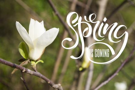 Beautiful magnolia flowers. Blooming magnolia tree in the spring. Selective focus, lettering Hello Spring