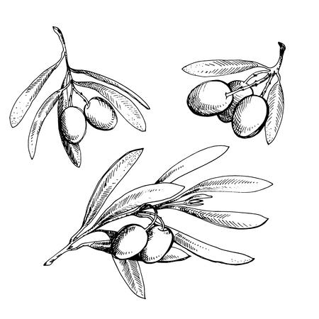 Olivenskizzenelementsammlung. Olivenzweig ist handgezeichnet. Skizze des Olivenzweigs auf weißem Hintergrund