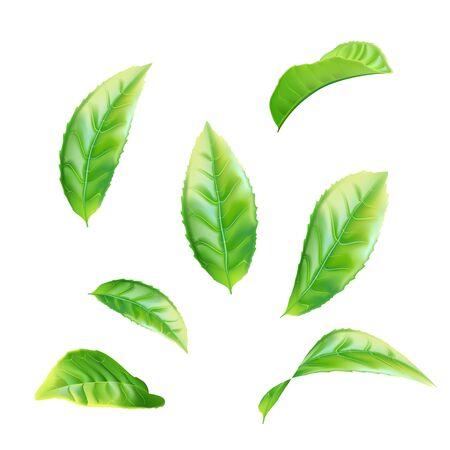 Realistic green tea leaves set. Vector illustration