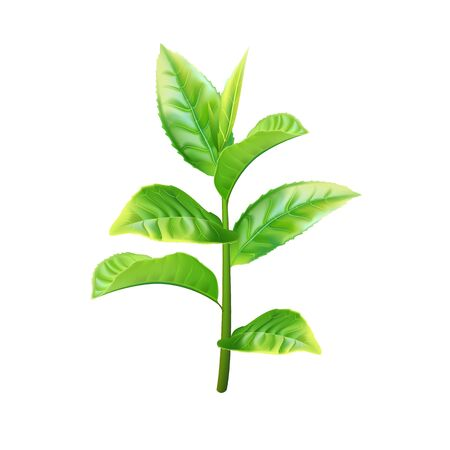 Realistic green tea branch. Vector illustration
