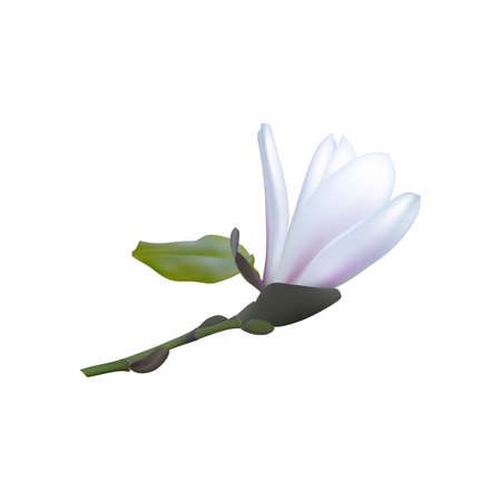 3d realistic magnolia white flowers. Vector illustration
