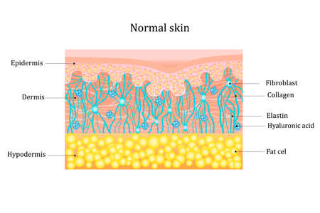 Structure human skin with collagen and elastin fibers, fibroblasts.Layers of the human skin. skin and health care concept Vector diagram