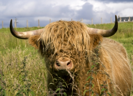 scotland cow in highlands