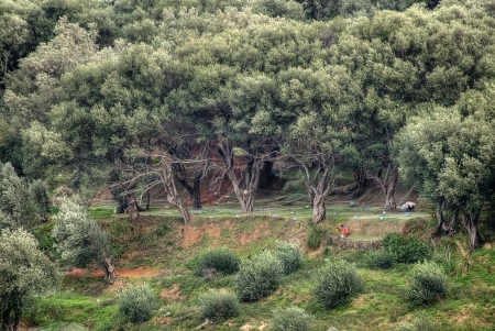 olive harvesting in forest of olive trees