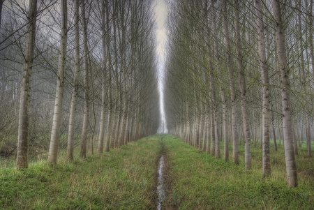 rows of birch in romantic forest